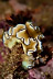 Glossodoris atromarginata Nudibranch