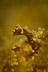 Jello Pygmy Seahorse