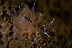 Phyllodesmium opalescens Nudibranch