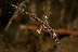 Juvenile Ornate Ghost Pipefish