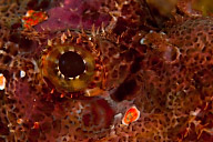 Scorpionfish