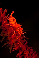 Wire Coral Shrimp