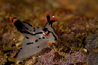 Thecacera picta Nudibranch