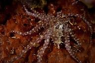 Small Octopus