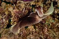 Chelidonura electra Sea Slug