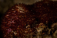Anemonefish Eggs