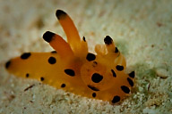 Thecacera spp. Nudibranch