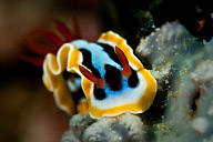 Chromodoris elizabethina Nudibranch