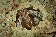 Lysiosquilla Mantis Shrimp