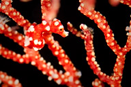 Red and White Denise Pygmy Seahorse