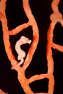 Denise Pygmy Seahorse