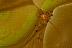 Vir philippenensis Shrimp