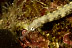 Reeftop Pipefish