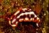 Hypselodoris purpureamaculosa Nudibranch