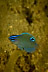 Juvenile Damselfish