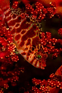 Threadfin Hawkfish