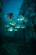 Batfish School under Pier