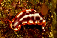 Hypselodoris purpureamaculosa Nudibranch