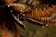 Squat Lobster in Crinoid