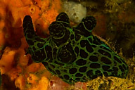 Chelyonotis semperi Nudibranch