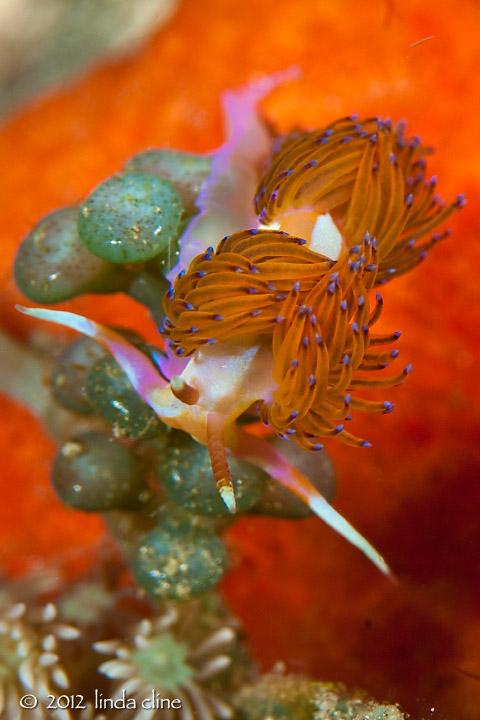 Sakuraeolis sp. 1 Nudibranch