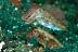 Pygmy Cuttlefish Pair