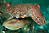 Pygmy Cuttlefish Pair