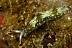 Elysia grandifolia