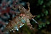 Pygmy Cuttlefish