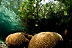 Corals in Mangroves