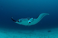 Manta