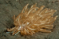 Phyllodesmium Nudibranch