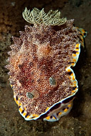 Chromodoris sp. 13 Nudibranch