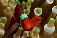 Spinecheek Anemonefish