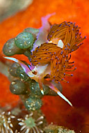 Sakuraeolis sp. 1 Nudibranch