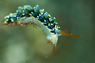 Trinchesia ornata Nudibranch