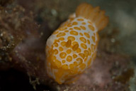 Gymnodoris rubrapapulosa Nudibranch