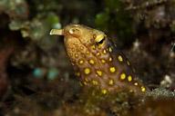 Tiger Snake Eel