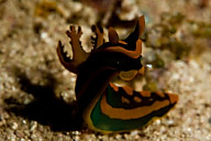 Tambja gabrielae Nudibranch
