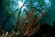 Sea fan in Mangroves