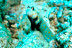 Spotted Shrimp Goby