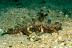 Caledonian Stinger