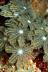 Clavularia Soft Coral