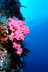 Soft Coral Scenic