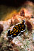 Thysanozoon Flatworm