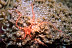 Brittle Star