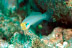 Blue Band Goby