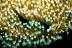 Chelidonura Inornata Sea Slug