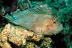 Leaf Scorpionfish