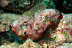 False Stonefish